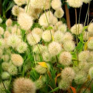 Nasiona dmuszka