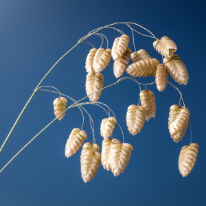 Nasiona drżączki