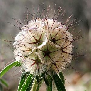 Nasiona driakwi (wdówki)