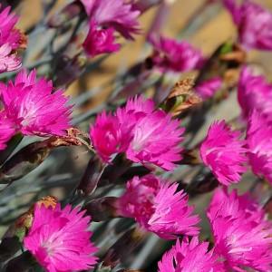 Nasiona goździków