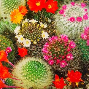 Nasiona kaktusów