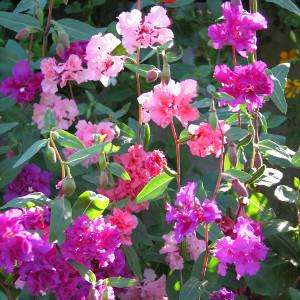 Nasiona klarkii