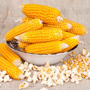 Nasiona kukurydzy ozdobnej