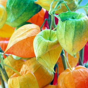 Nasiona miechunki ogrodowej
