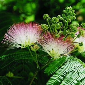 Nasiona mimozy