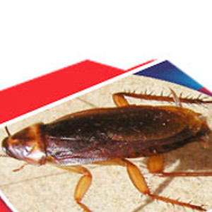 Na karaluchy, prusaki i rybiki cukrowe