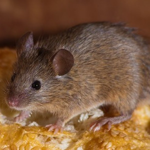 Na myszy i szczury
