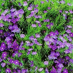 Nasiona nierembergii
