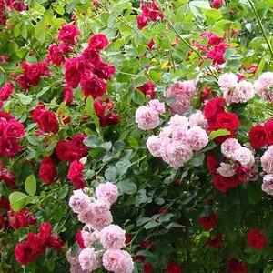 Nawozy do róż