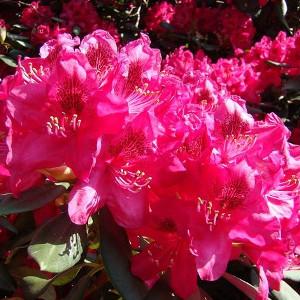 Nawozy do rododendronów i azalii