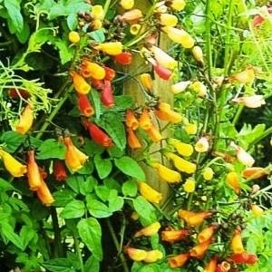 Nasiona pałczatki