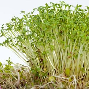 Nasiona rzeżuchy
