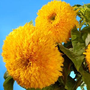 Nasiona słonecznika ozdobnego