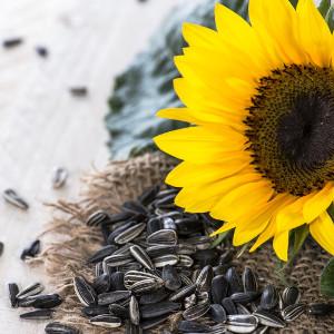 Nasiona słonecznika jadalnego