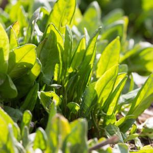 Nasiona szczawiu