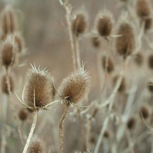 Nasiona szczeci