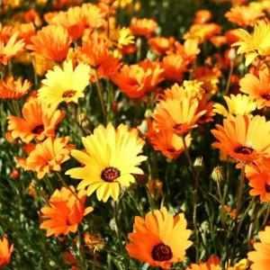 Nasiona złotokwiatu (dimorfoteki)