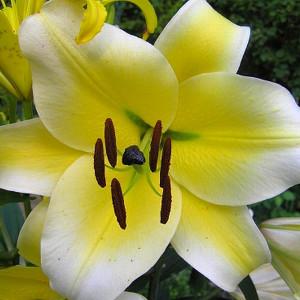 Cebulki lilii