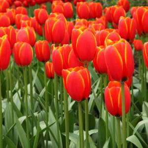 Cebulki tulipana